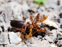 Красный рой насекомого муравья боя свирепо Стоковое Изображение RF