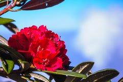 Красный рододендрон стоковая фотография rf