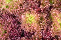Красный салат лист или красный коралл для здоровья диеты Стоковое Изображение RF
