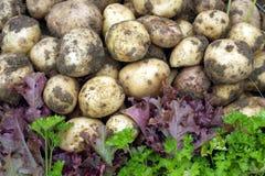 Красный салат, зеленая петрушка и молодые картошки Стоковые Фото