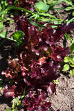 Красный салат салата растя в саде Стоковые Фото