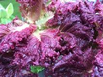 Красный салат Redina Стоковые Фото