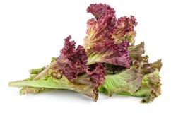 Красный салат rosso lolo лист Стоковая Фотография RF
