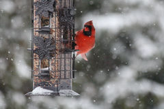 Красный северный кардинал в снеге Стоковое фото RF