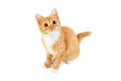 Красный сидя котенок Стоковые Фотографии RF