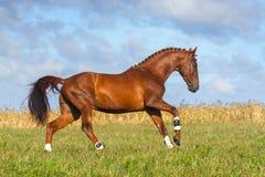 Красный скакать лошади Стоковые Фотографии RF