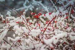 красный снег плодов шиповника Стоковые Фотографии RF