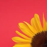 красный солнцецвет Стоковые Изображения RF