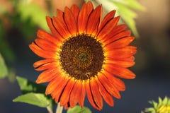 Красный солнцецвет светя стоковое фото rf