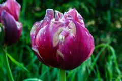 Красный с белым цветком tulipa пятен, полу--openned на зеленой предпосылке сада, конце-вверх стоковые изображения rf