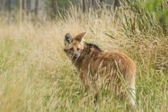 Красный с гривой волк, brachyurus chrysocyon Стоковые Фото