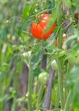 Красный томат зрея Стоковая Фотография