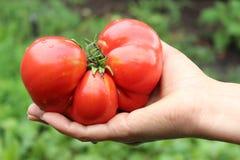 Красный томат на ладони ` s женщины Стоковое фото RF