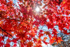 Красный тоннель кленовых листов с блеском солнечного света Стоковое Изображение