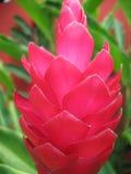 Красный тропический цветок Стоковое фото RF