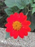 Красный тропический цветок стоковое изображение rf