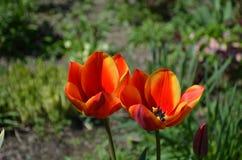 Красный тюльпан в конце сада вверх стоковые изображения