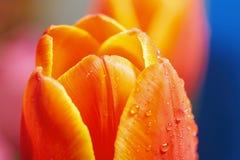 Красный тюльпан как символ влюбленности Стоковые Фотографии RF