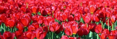 Красный тюльпан на весне Стоковая Фотография RF