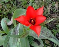 Красный тюльпан растет внутри geen трава в саде Стоковая Фотография