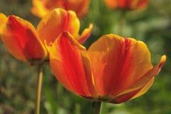 Красный тюльпан увиденный очень близко стоковое изображение