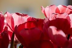 Красный тюльпан цветет подробно стоковые изображения