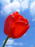 красный тюльпан Стоковые Изображения RF