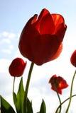 красный тюльпан Стоковое Изображение RF