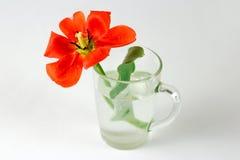 Красный тюльпан в стеклянном beaker заполнил с водой closeup Красная подача Стоковые Изображения