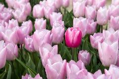 Красный тюльпан и розовые тюльпаны Стоковая Фотография RF