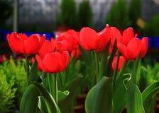 Красный тюльпан крови Стоковая Фотография