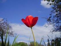 Красный тюльпан на предпосылке неба Стоковое Изображение RF