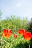Красный тюльпан оранжевого желтого цвета Стоковое фото RF