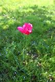 Красный тюльпан сада стоковые изображения