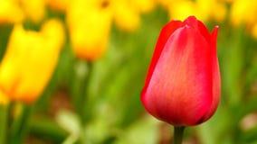 Красный тюльпан сток-видео