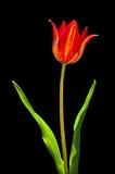 Красный тюльпан Стоковые Изображения