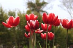 Красный тюльпан Стоковая Фотография