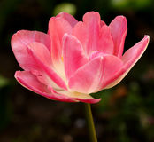 Красный тюльпан Стоковые Фотографии RF