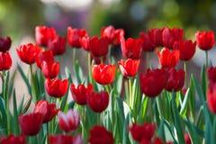 Красный тюльпан Стоковое Изображение
