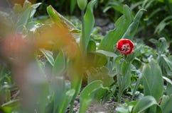 Красный тюльпан Стоковое фото RF