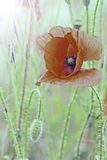Красный луг мака Стоковая Фотография RF