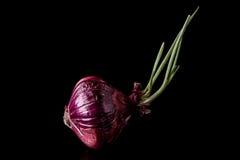 Красный лук Стоковая Фотография