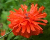 Красный фиолетовый розовый цветок пиона на синей черной предпосылке, фиолетовом пионе, красном цветке, цветке весны, розовом пион Стоковые Изображения RF