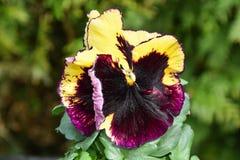 Красный фиолетовый Pansy цветет предпосылка Стоковое фото RF