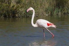 Красный фламинго в Camargue Стоковые Изображения