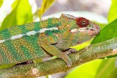 Красный хамелеон глаза Стоковые Изображения RF