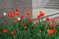 Красный цветник тюльпана в DC Вашингтона Стоковые Изображения
