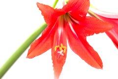 Красный цветок амарулиса на белой предпосылке Стоковая Фотография