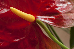 Красный цветок, антуриум, крупный план Стоковое Изображение