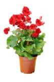 Красный цветок бегонии Стоковые Изображения